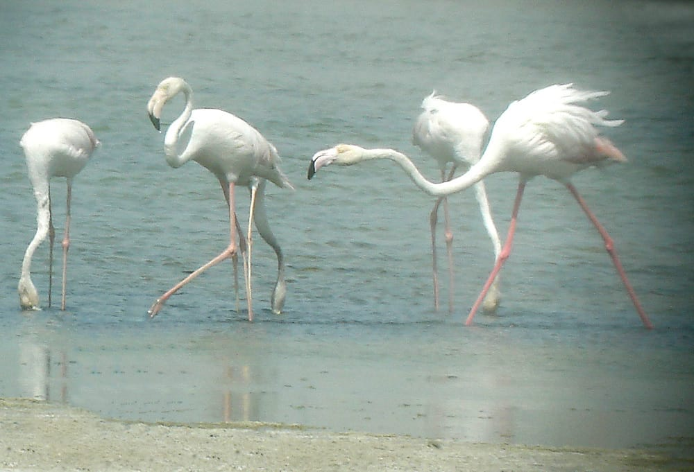 Flamingos at Ras Al Khor