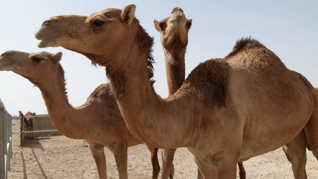 Camels in Qatar