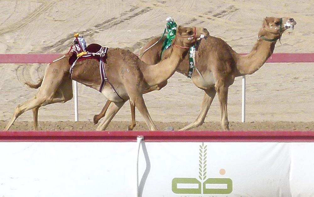 Camel racing Abu Dhabi