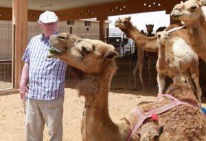 Camels at the Al Ain Livestock Market