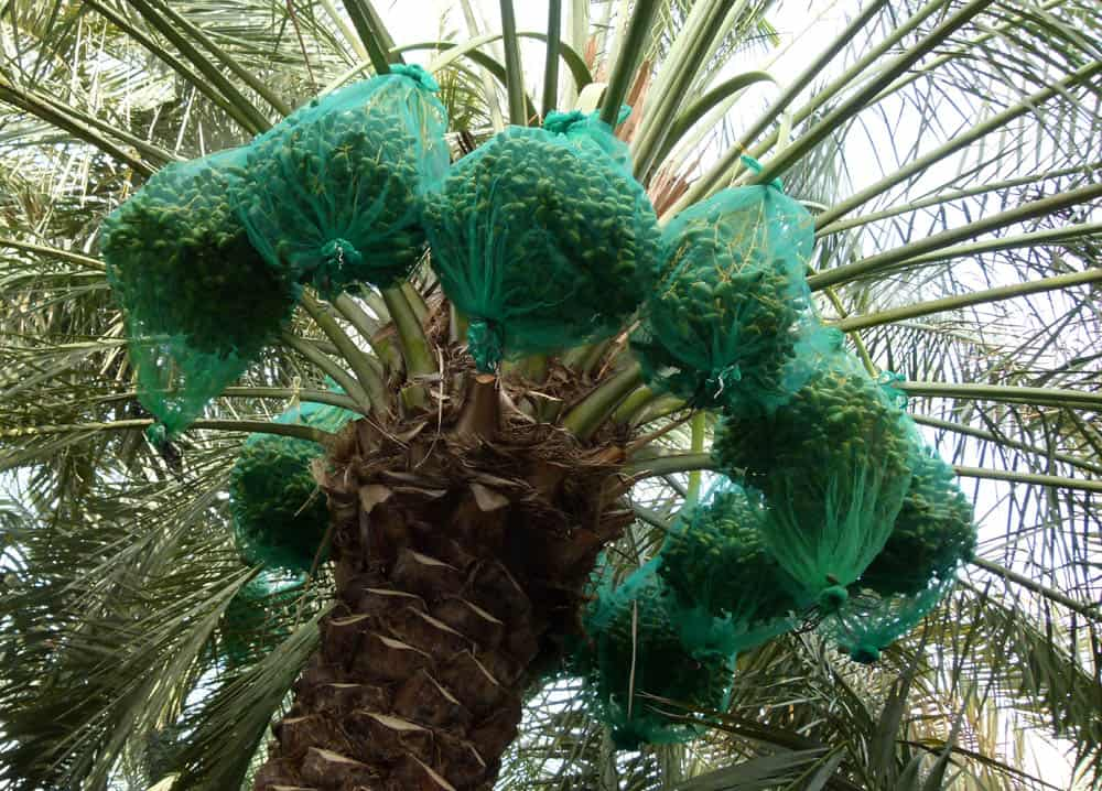 Green bags protect the date palms, in Al Ain