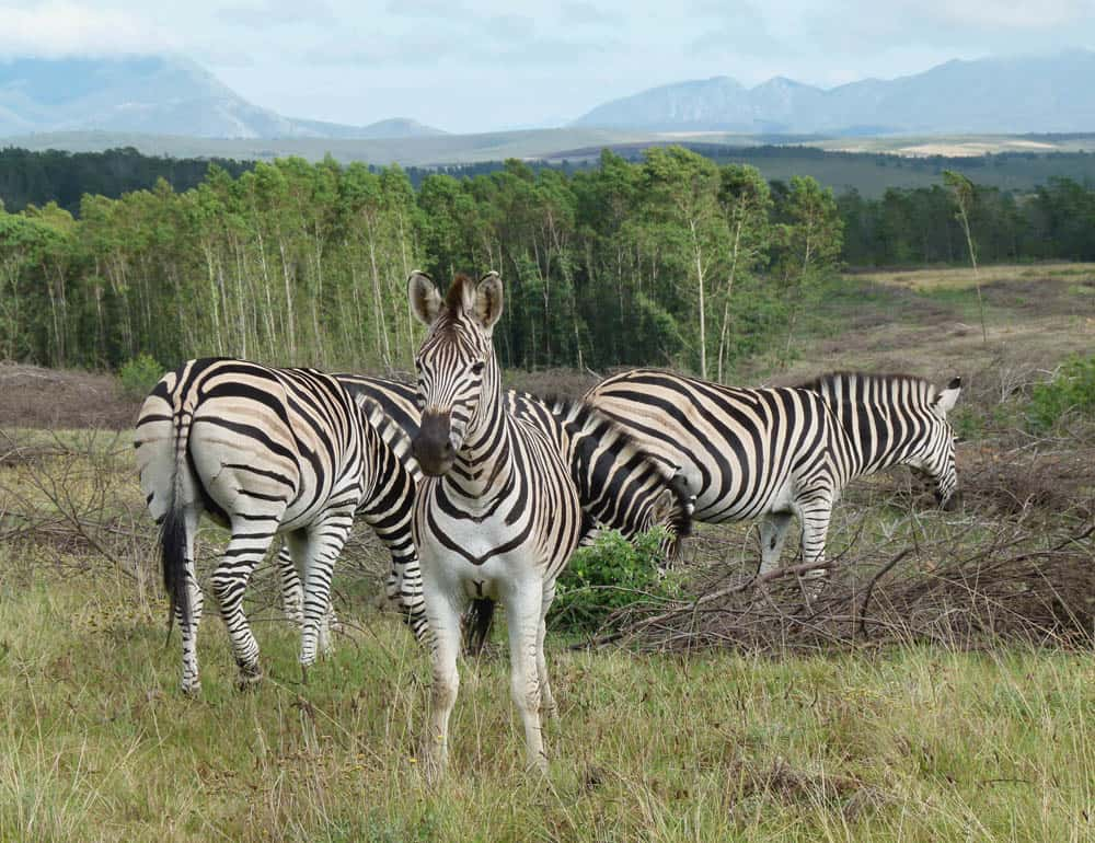 Zebras at the Gondwana Game Reserve