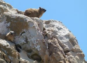 Dassies at Cape St Blaize