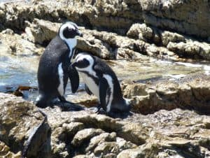 Penguins at Stony Point Sanctuary, South Africa