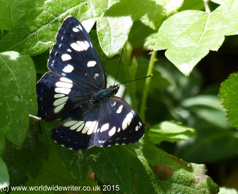 Black butterfly with white markings