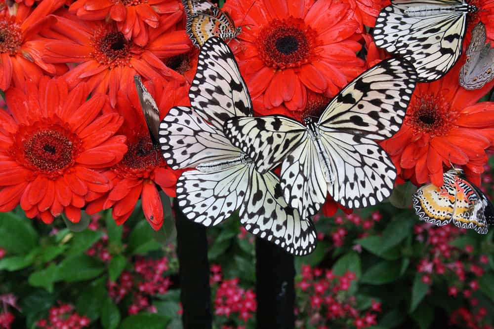 Black and white butterflies with red flowers