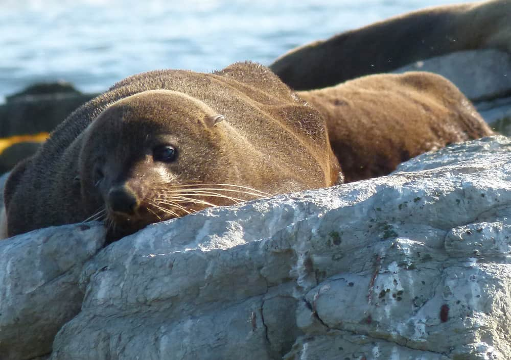 Fur seal lying on a rock