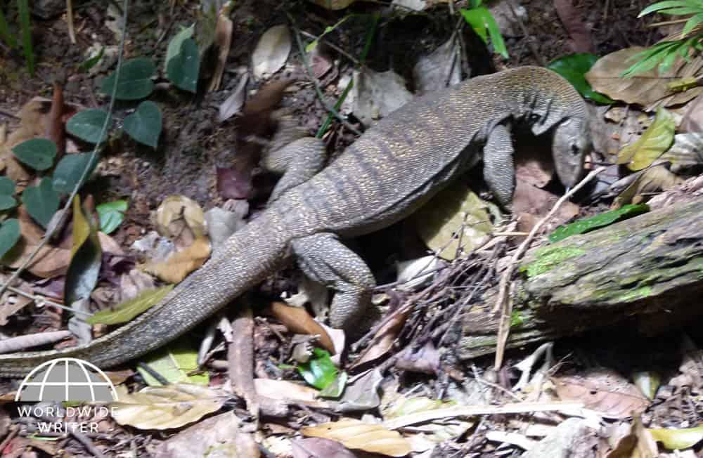 Iguana in the undergrowth