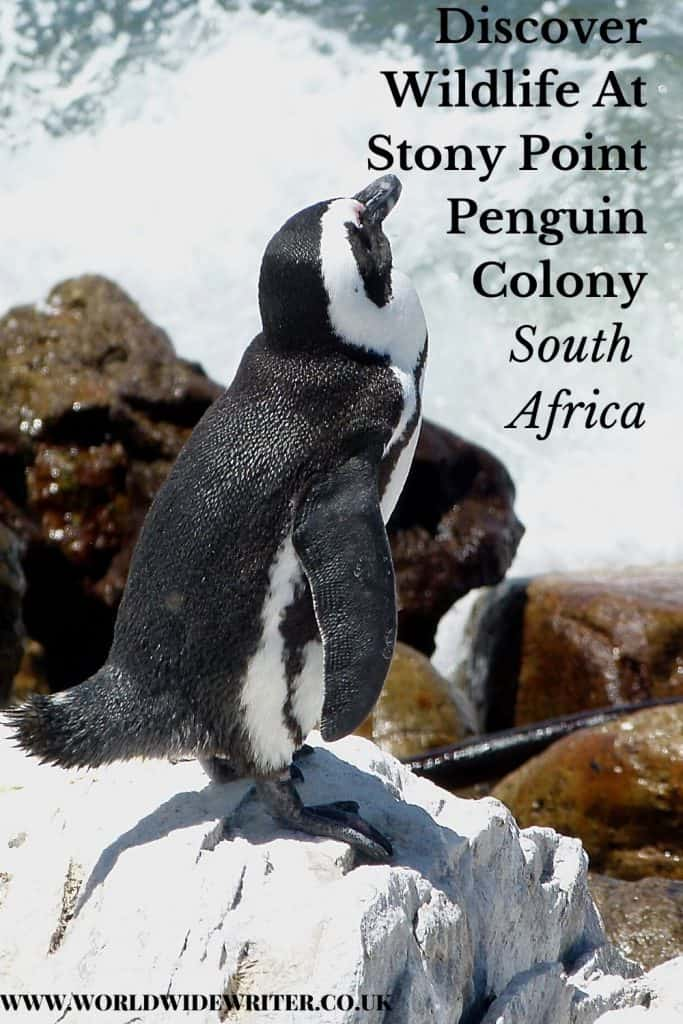 Pinnable image of penguin sitting on a rock