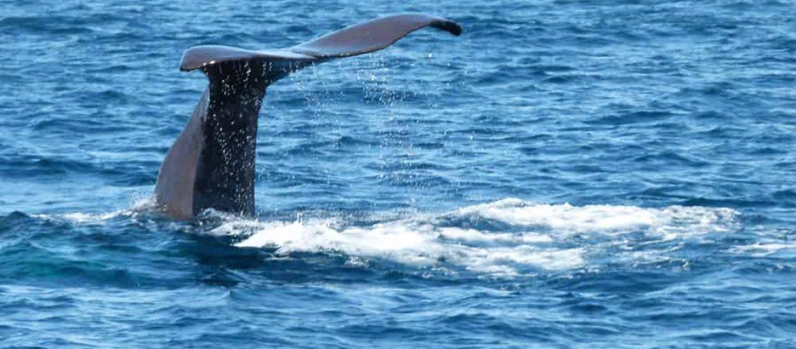 Sperm whale at Kaikoura
